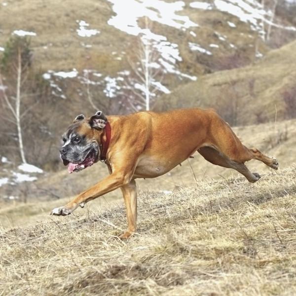 la carrera del perro boxer