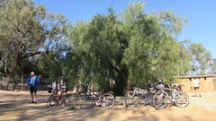 The  tree has been  there since 1878.. Fleeting visit by bikes
