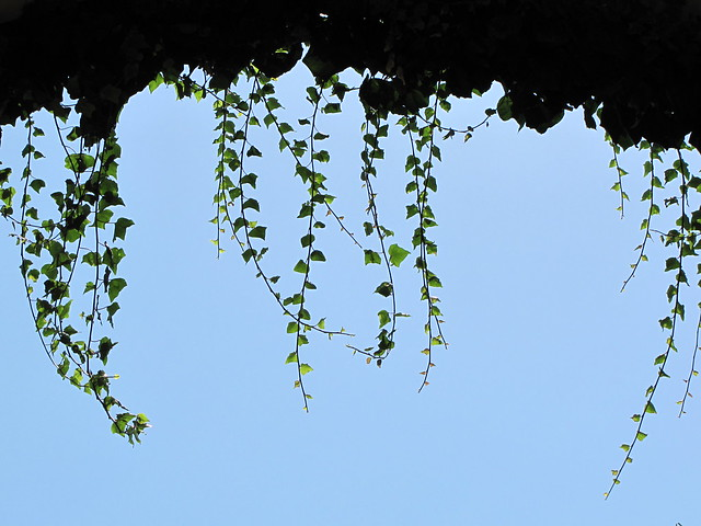 Hanging Ivy Leaves