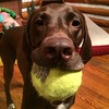 Less picture taking and more ball throwing, please! ~Cello #obsessed #throwmyball #overit #guilttrip #gsp #germanshorthairedpointer #pointersofinstagram #pointer #birddog #deutschkurzhaar #oversized #tennisball #fetch #aplacetolovedogs #dogscorner #dog_fe