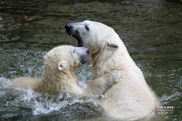 Eisbären Giovanna&Nobby 2014_09_17 232
