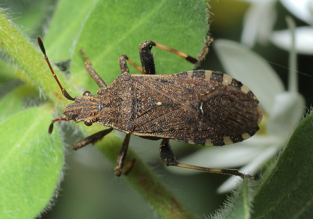 Ceraleptus gracilicornis - tüskéslábú karimáspoloska
