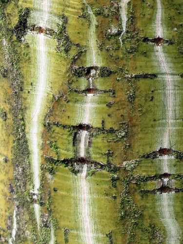 Tree bark with white stripes: Striped Maple (aka Snake Bark Maple, Moosewood) (Acer pensylvanicum)