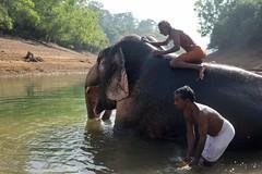 Kapiel słoni w Kottoor