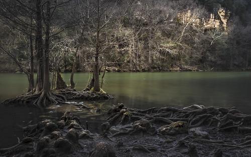 swamp backwater stream creek roots knees cypress cypressgrove austin texas dawn landscape olympus