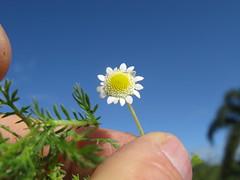 Cotula turbinata flowerhead NC1