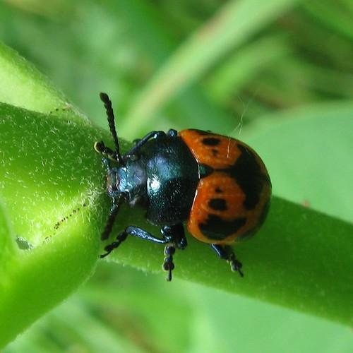 Swamp milkweed leaf beetle (Labidomera clivicollis), Sandhill Station