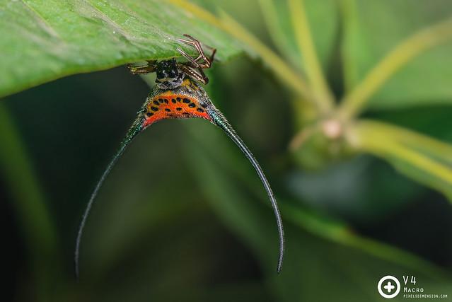 Macracantha arcuata ♀