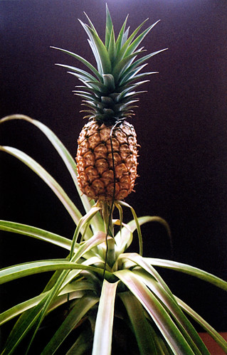 son of pineapple