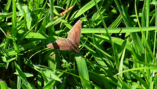 DSCN2942 Meadow Brown ?