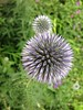 I thawt I thaw a thithle.  Globe Thistle in my garden, trying to decide if it's ready to open up.