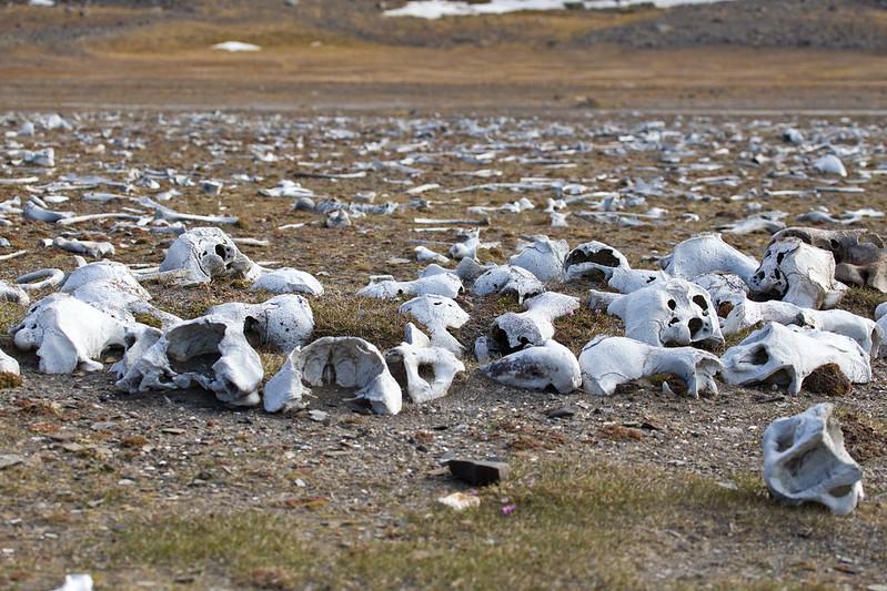 IMG_2044 walrus graveyard