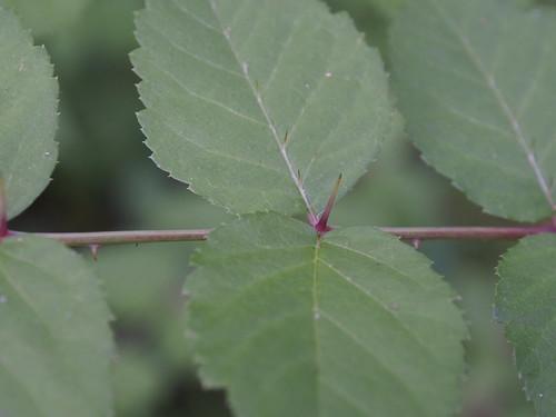 Aralia spinosa P6280500