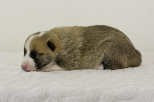 Anya-Litter1-10Days-Puppy1(Male)d