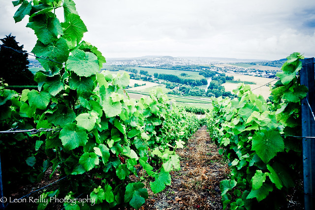 Grand Cru vineyards, Champagne, France.