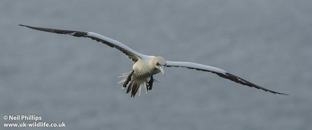 gannet flight-7