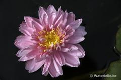 DSC_9639 Nymphaea Lily Pons 1992