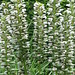 Small photo of Acanthus mollis Rue Ledan