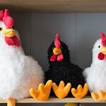 Schaffer chickens...