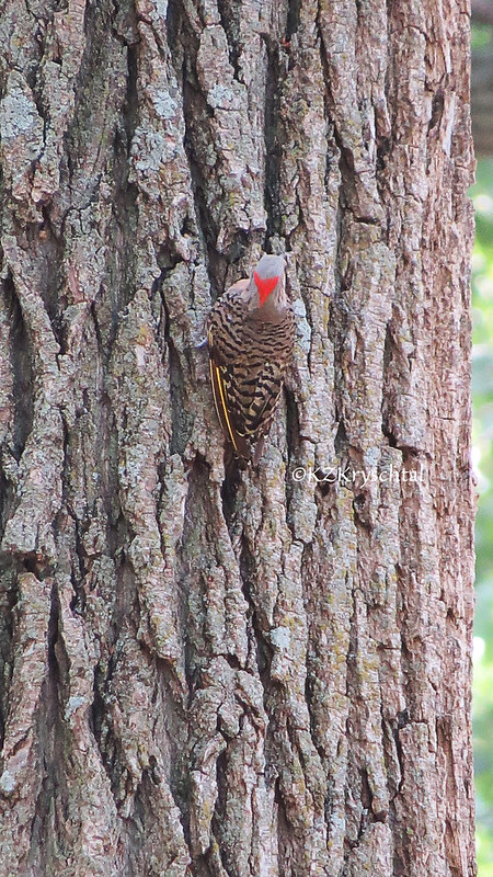 IMG_1897YellowShaftedNorthernFlicker