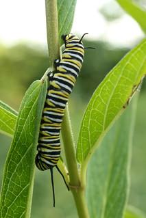 2014-8-9. Caterpillar
