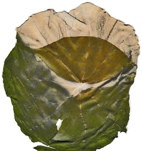 blatt chlorophyllotypie 2