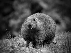 animal, rodent, nature, monochrome photography, fauna, close-up, marmot, monochrome, whiskers, black-and-white, beaver, wildlife,