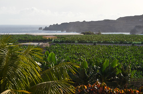 Bananas in Isla Baja, Tenerife