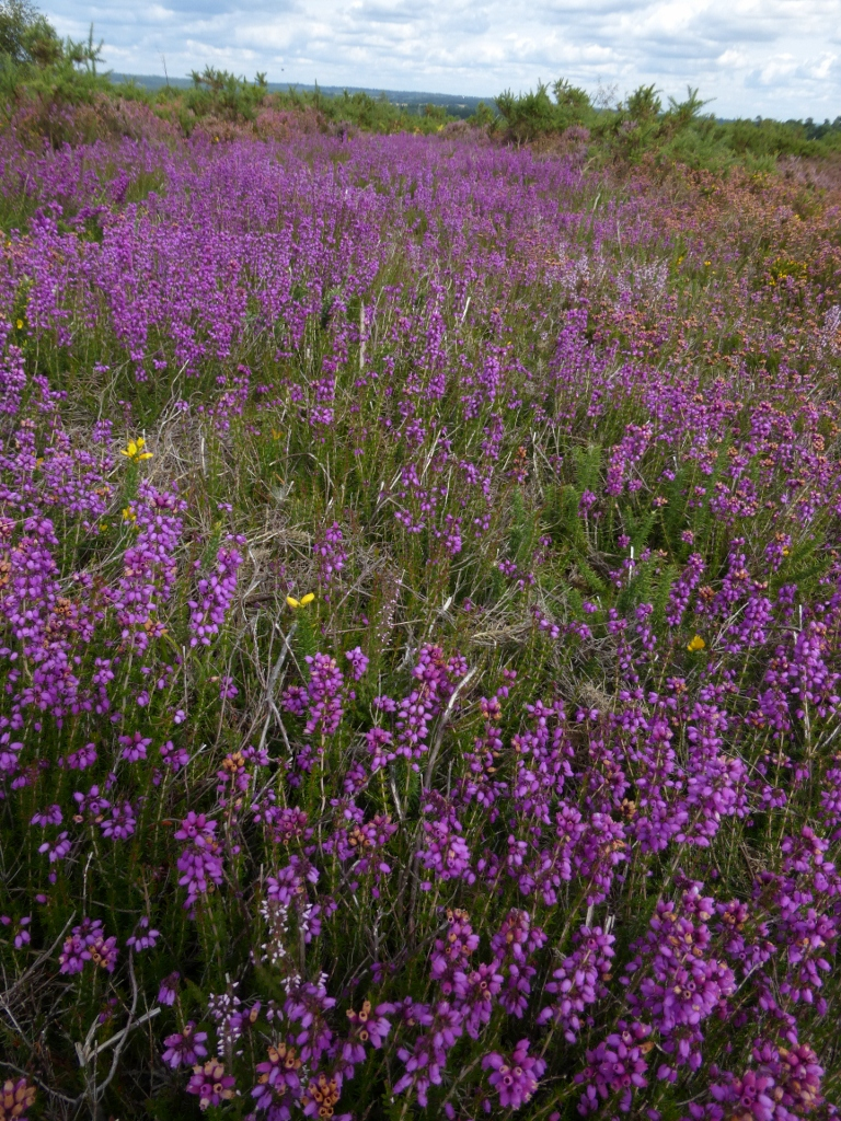 Intense heather, Thorsley Comon Milford to Haslemere walk