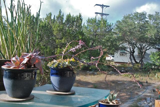 Blooming Echeverias