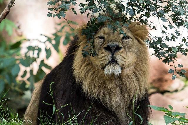 11-Thar der asiat.Löwe