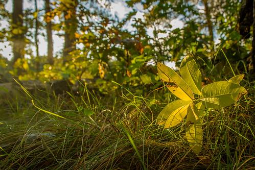 sunset minnesota september milkweed 2014 crowwingstatepark mndnr
