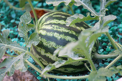 Junior watermelon
