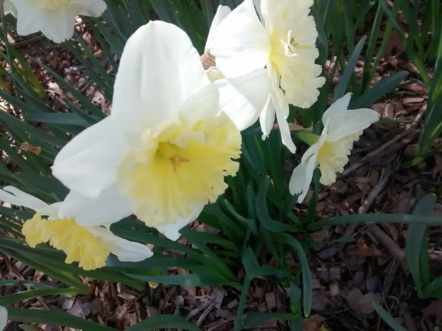 Daffodils Bowral