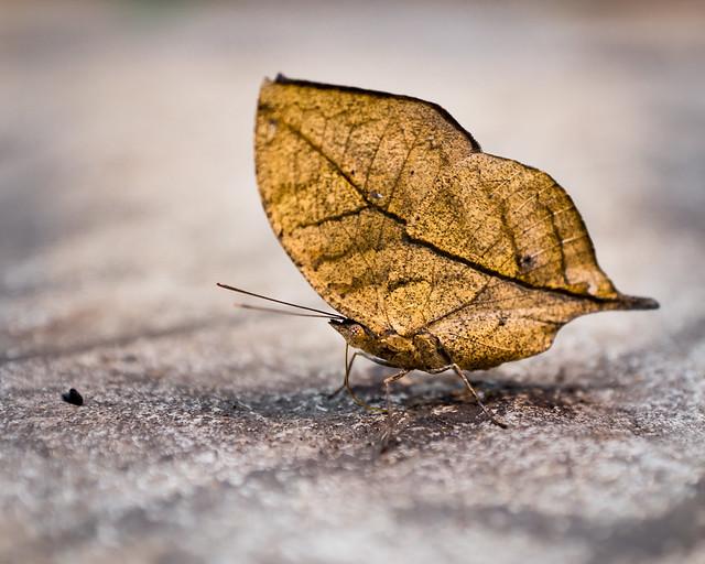 Dead Leaf Butterfly, Butterfly, Orange Oakleaf, Kallima inachus, camouflage