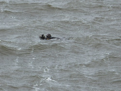 Sea Otters at Grant Point