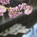 cherry-blossom by Hideaki Nishimura