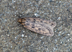 647 Brown House-moth - Hofmannophila pseudospretella