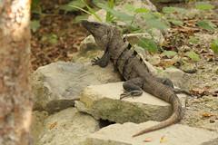 animal, reptile, lizard, fauna, dactyloidae, iguana, scaled reptile, wildlife,