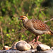 uttampegu posted a photo:	Grey Francolin in Udaipur