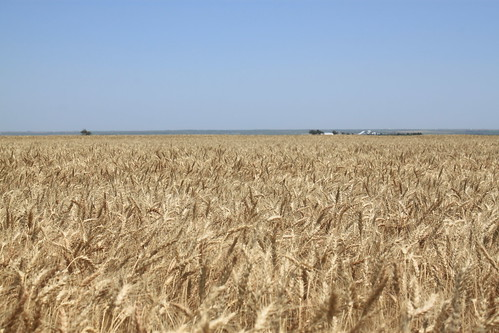 What a gorgeous wheat field.
