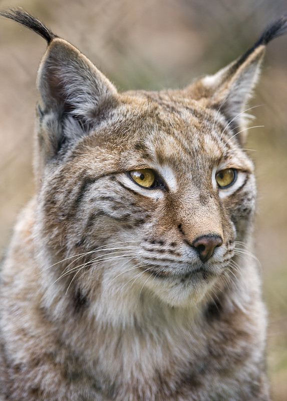 Another lynx portrait