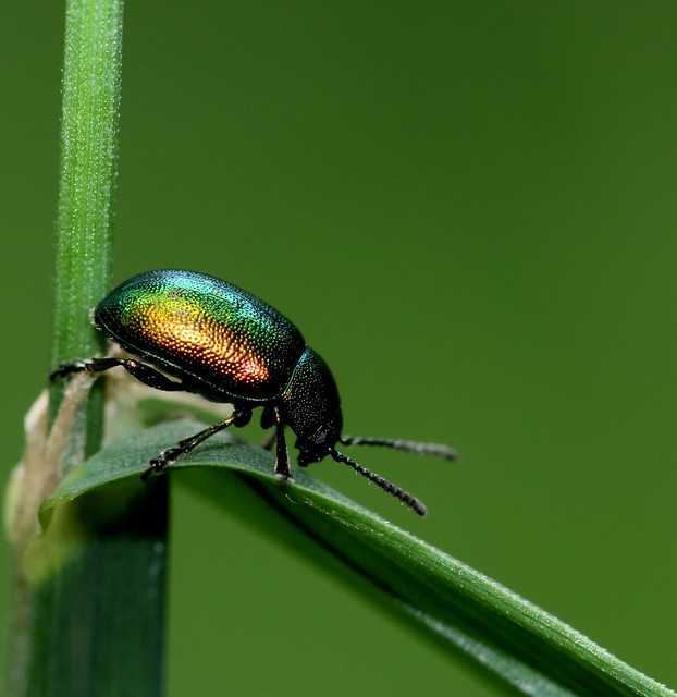 Tansy beetle?