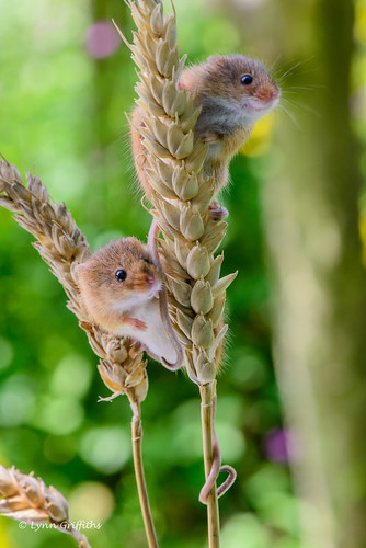 Harvest mice keeping a look out! D61_2644-23.jpg
