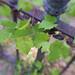 Leaves (178/365)