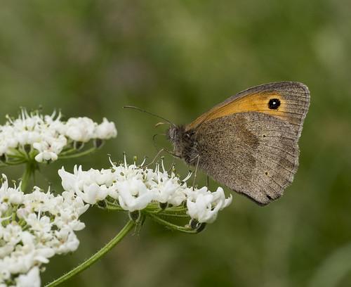 meadow brown 384  (77)