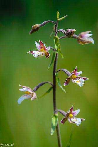 flowers österreich orchids pflanzen blumen steiermark orchideen epipactis wörschach