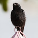 uttampegu posted a photo:	Black Drongo in Udaipur..