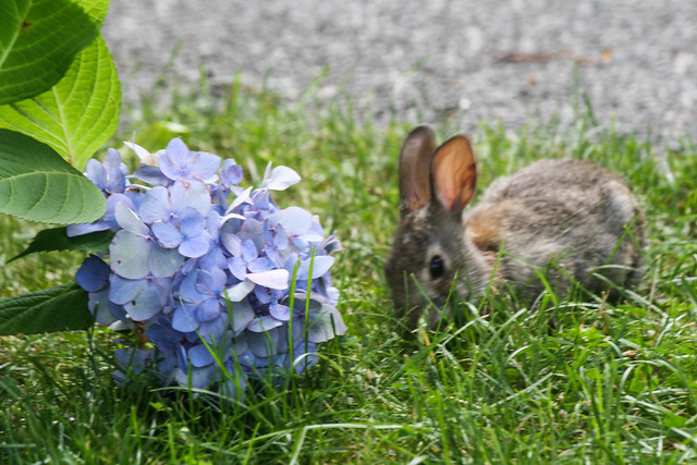 bunny & hydrangea