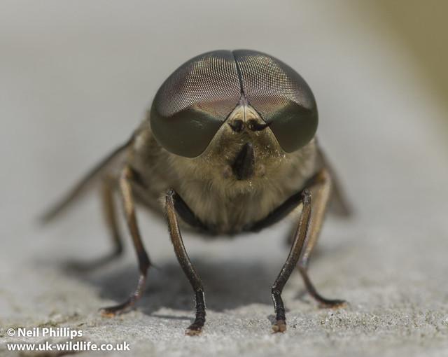 Tabanus Giant horsefly